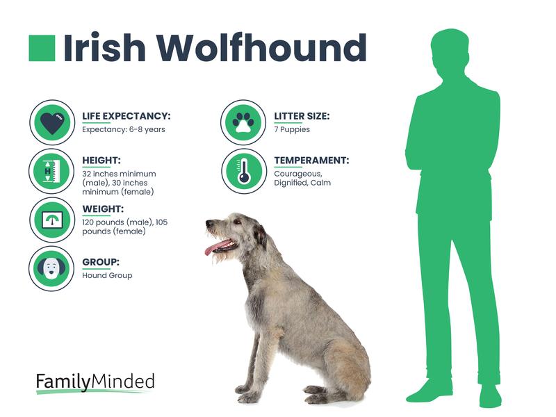 Irish Wolfhound breed
