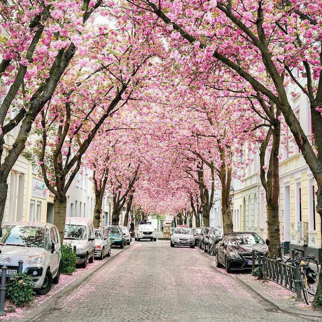 Cherry blossoms in Boone, Germany