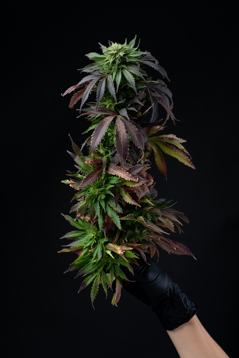 Cannabis branch with purple leaves