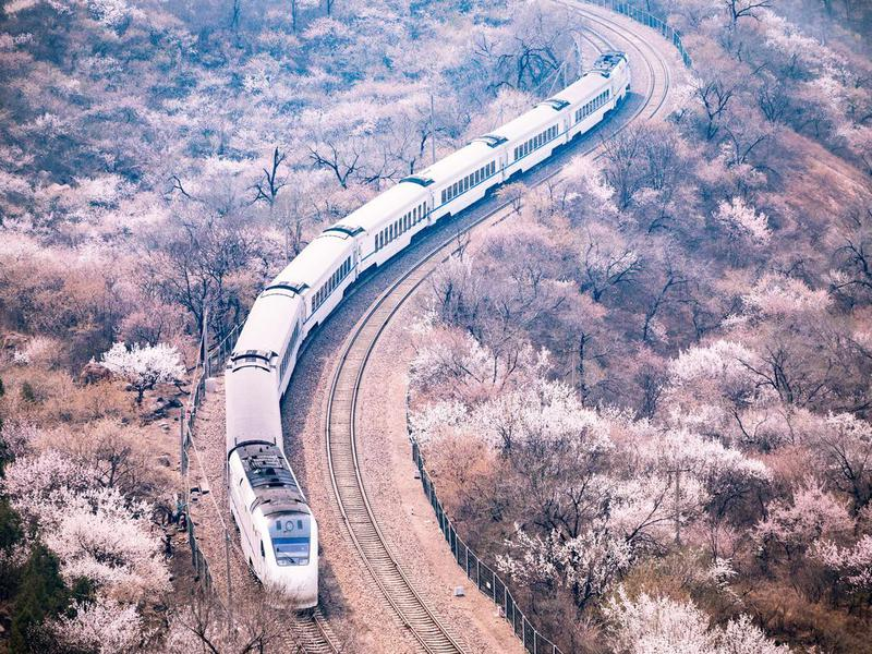 Train and Sakura Trees at beijing, china