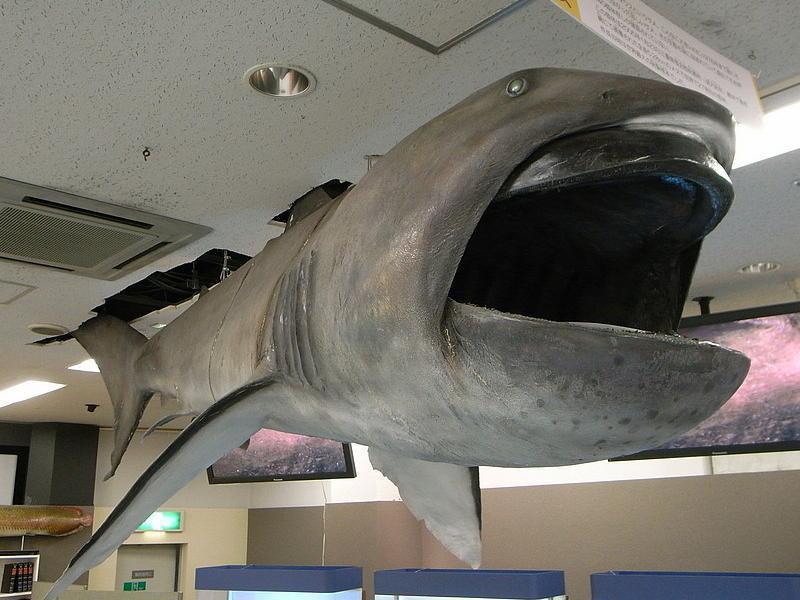 Megamouth Shark Display