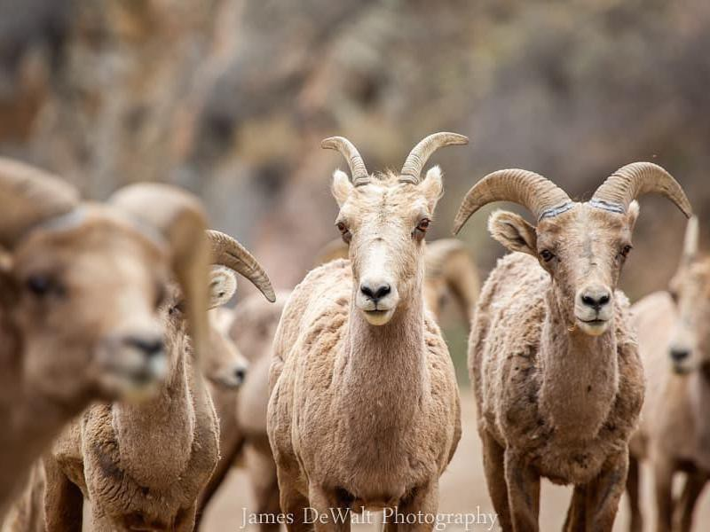 Big horn sheep photobomb