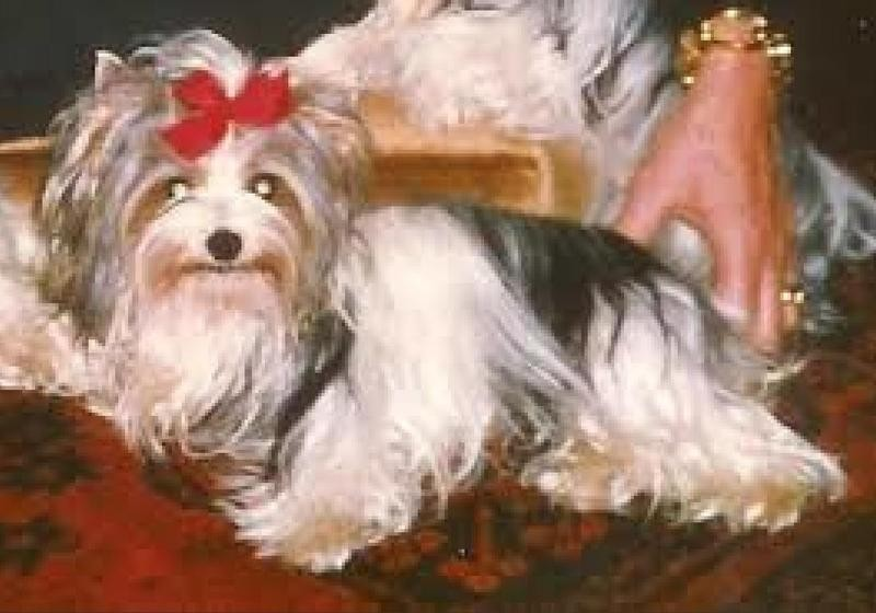 The First Biewer Terrier Had Quite the Name