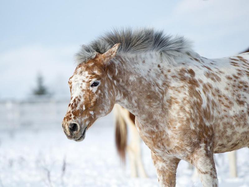 Altai Appaloosa horse portrait