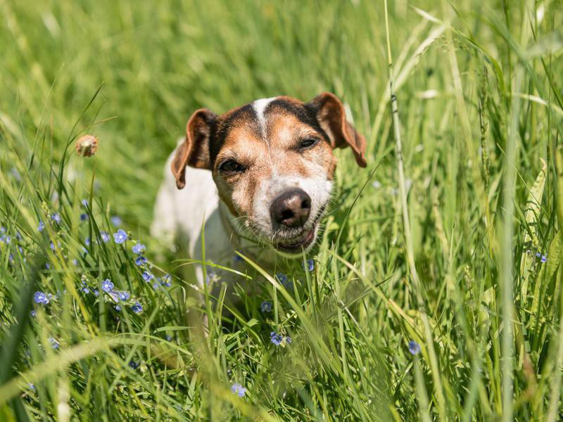 Dogs Eat Grass When They Are Sick — Debunked