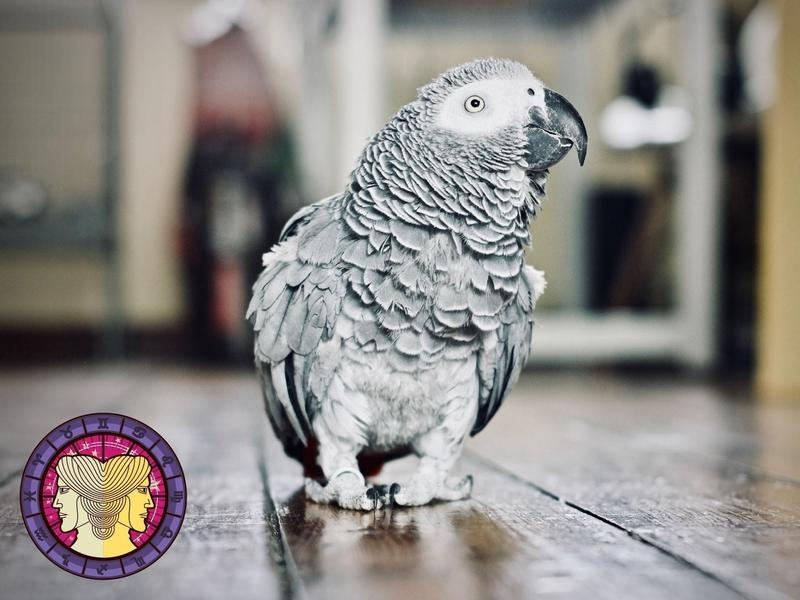 Parrot (African Grey)