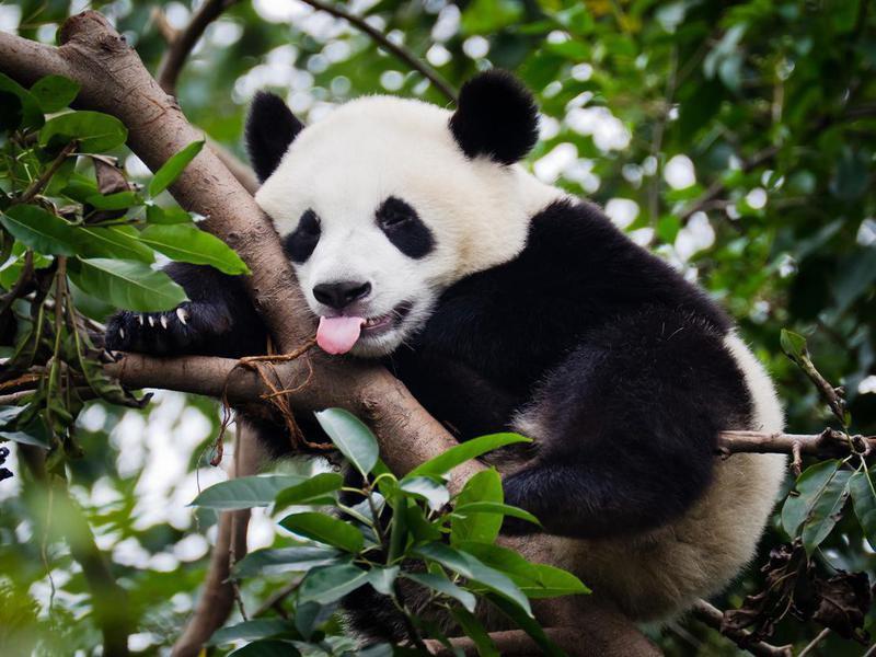 Are panda bears really bears?