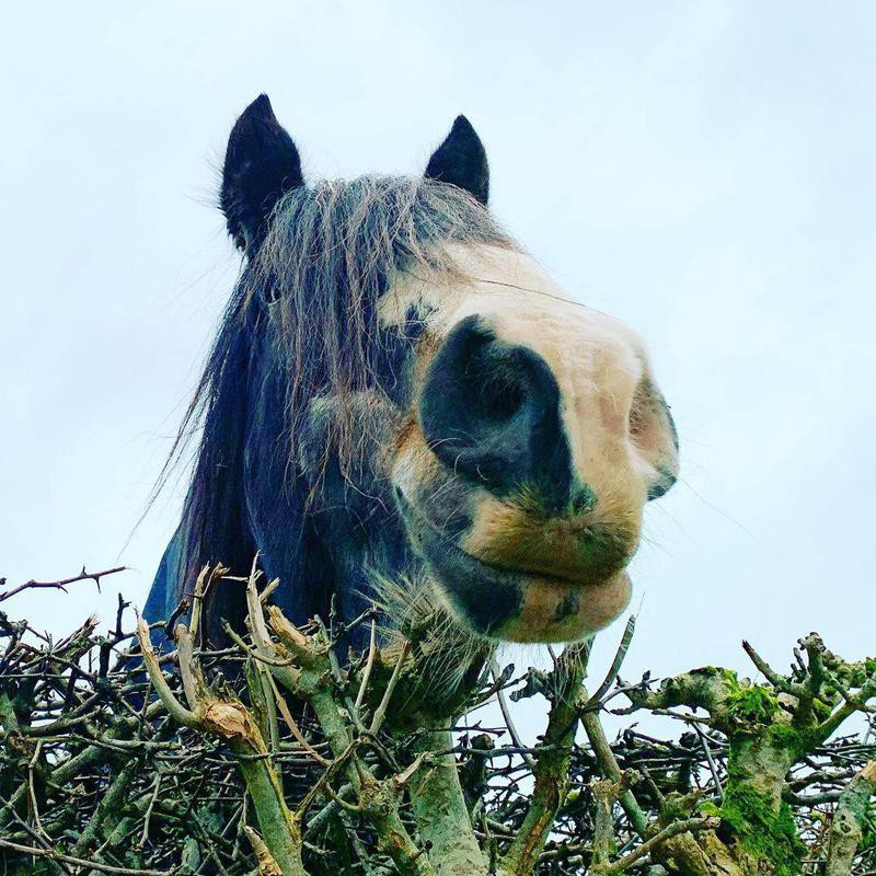 Horse Smiling Behind Branches