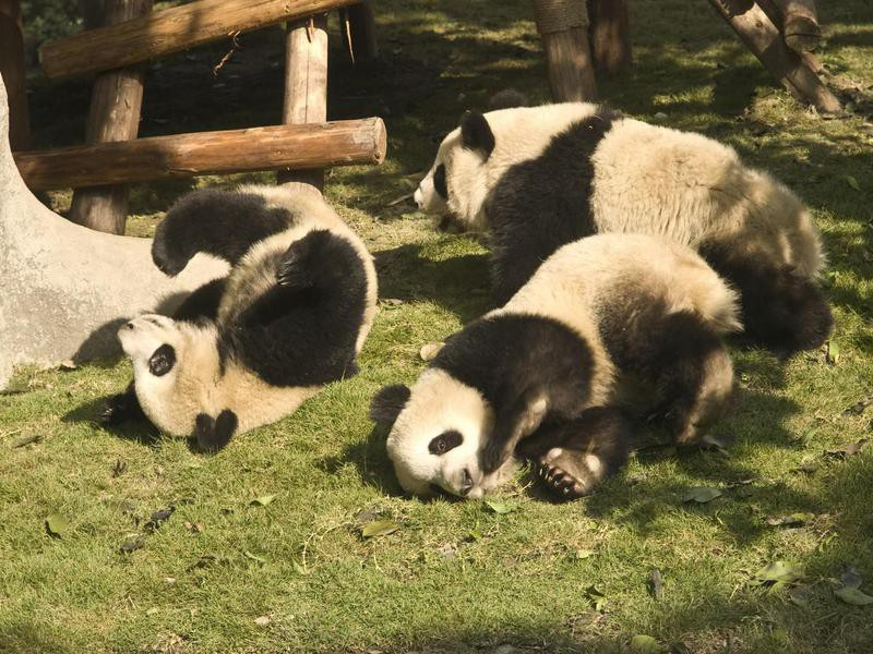 Do panda bears have tails