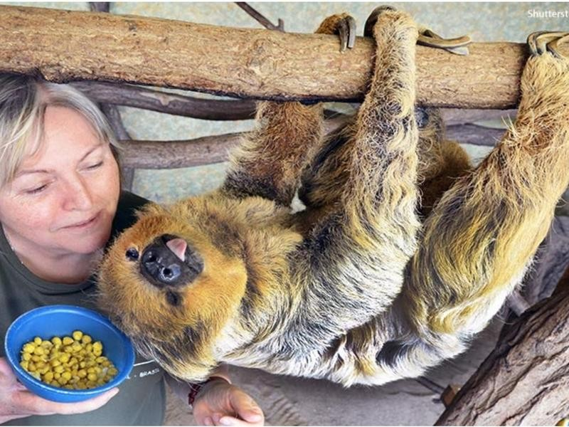 The Oldest-Living, Two-Toed Sloth