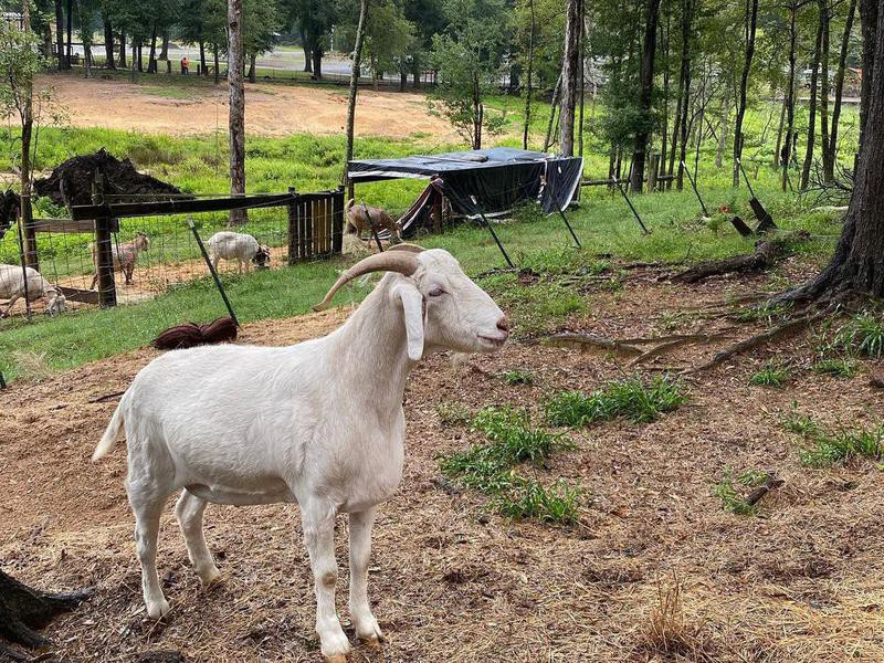 Goats at Fair Harbor RV Park & Campground