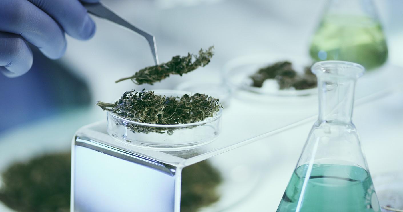 Tissue culture marijuana