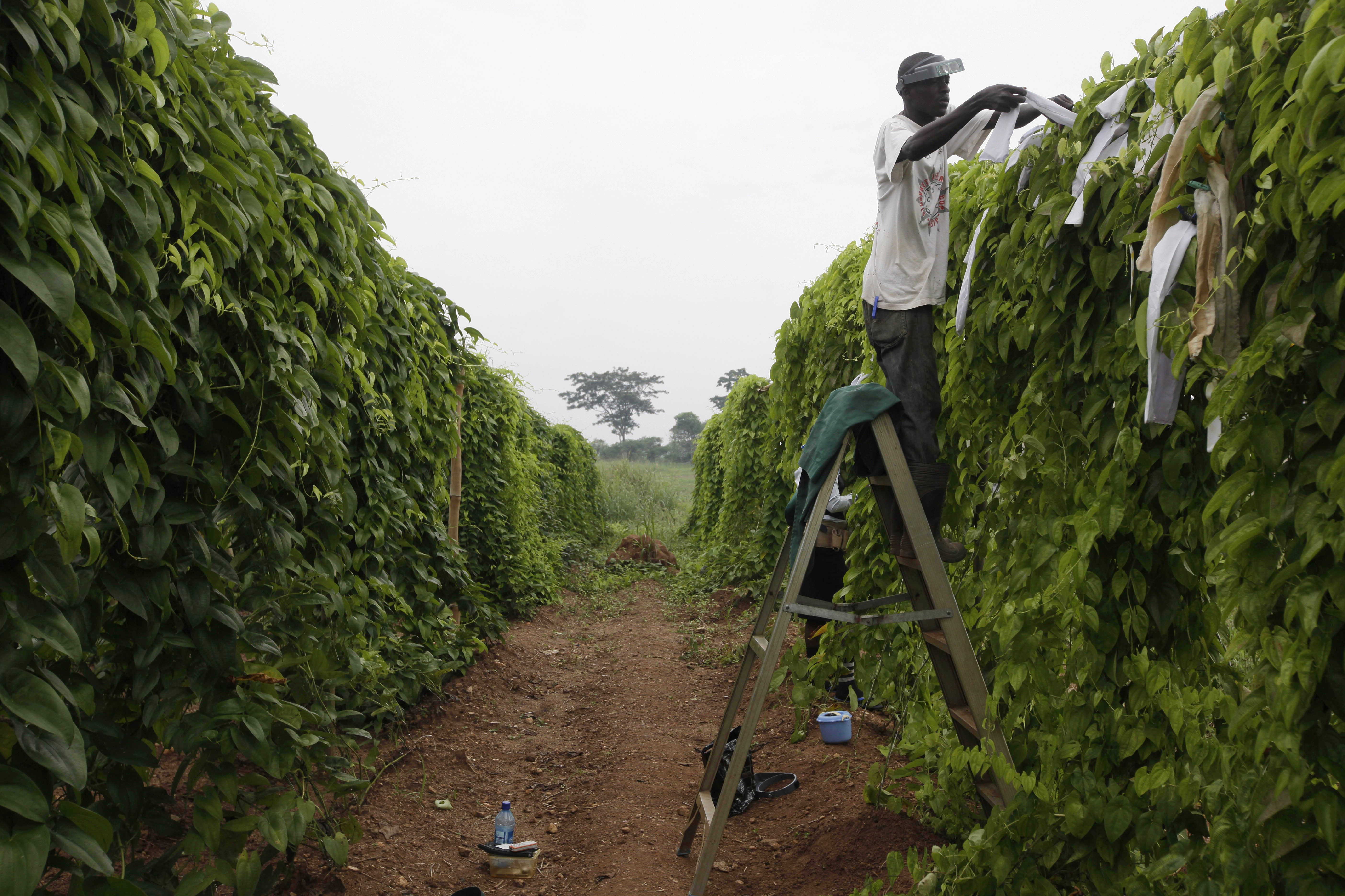 Cassava plants in Nigeria