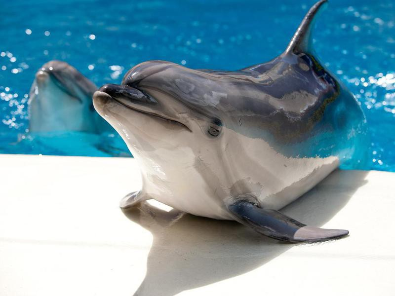 Dolphins near the pool with blue water