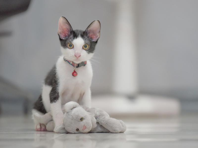 'Felix' Boy Cat Name