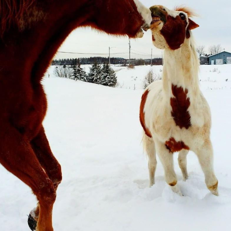 Two Horses Smiling and Playing
