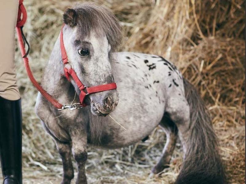 The Shortest Living Horse