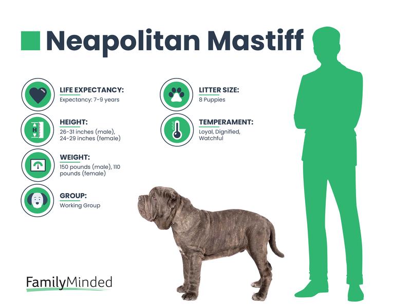 Neapolitan Breed