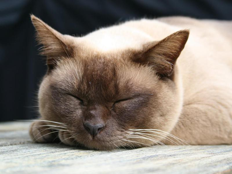 Burmese Cat asleep on a deck