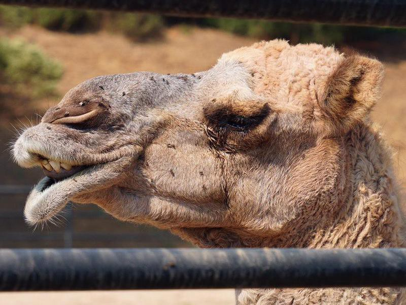 Camel covered in flies at Monterey Zoo