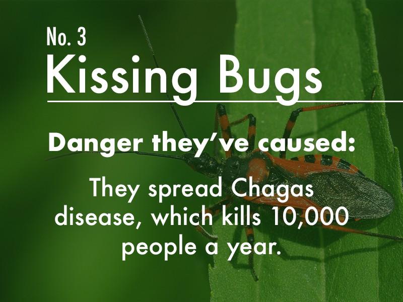 Kissing Bugs dangers