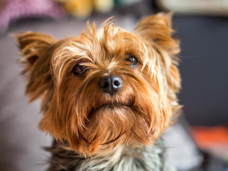 yorkshire terriers are a small dog breed
