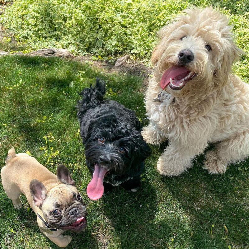 Group of dogs at the park with their tongue out