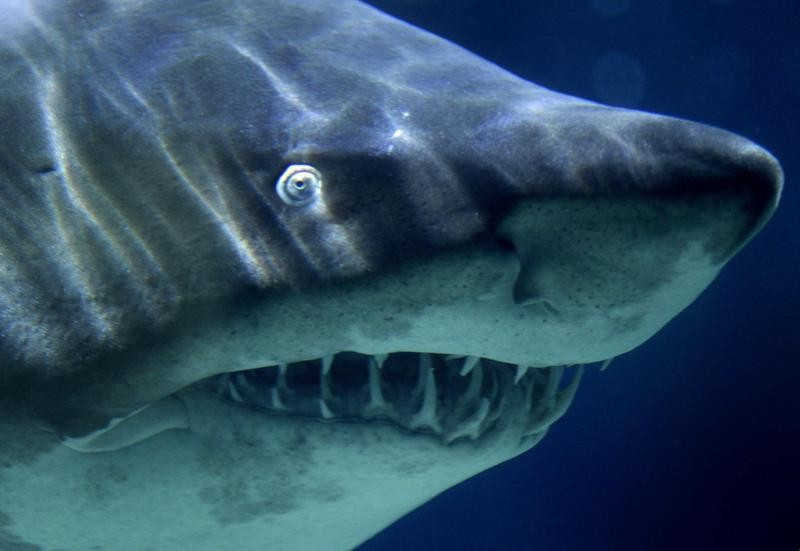 A close-up of a great white shark's face