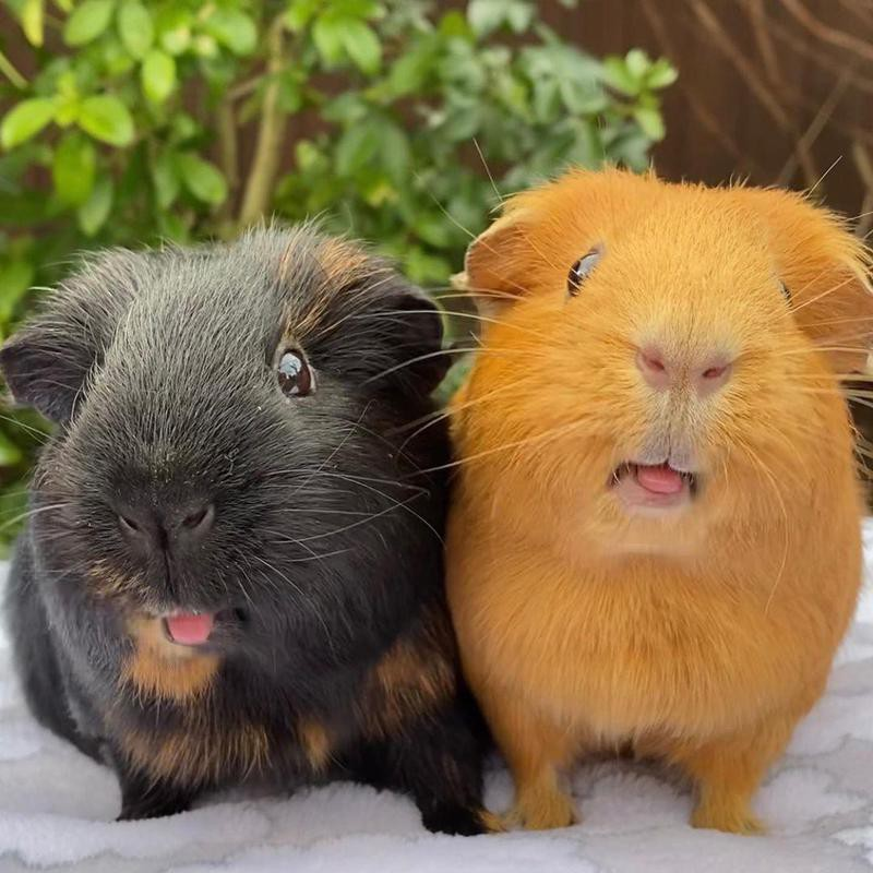 Two guinea pigs with their tongues out