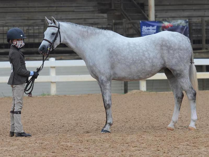 Welsh Pony in show