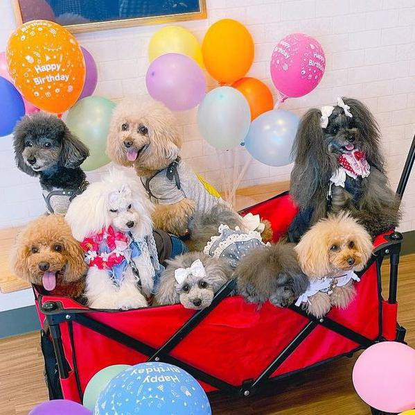 Toy poodles having a party