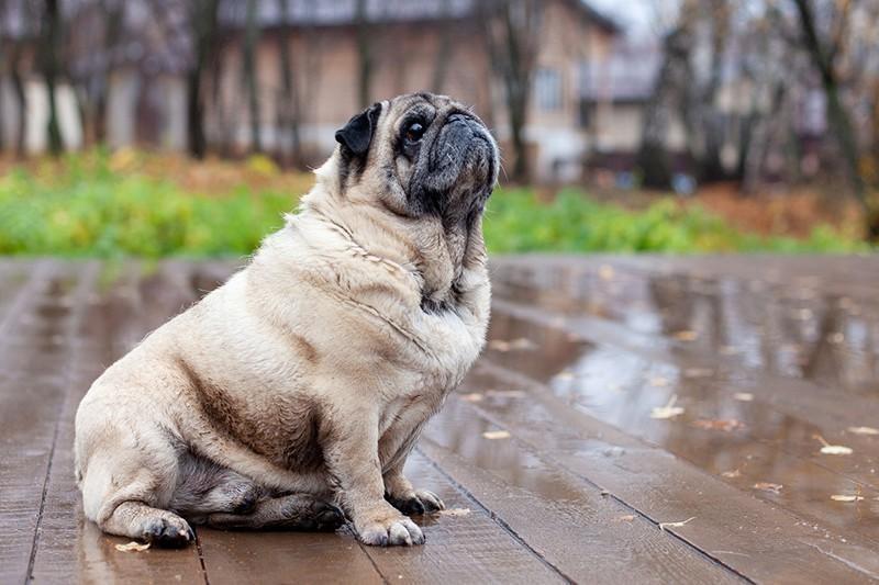 old pug outside