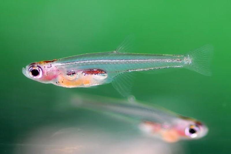 Paedocypris Fish