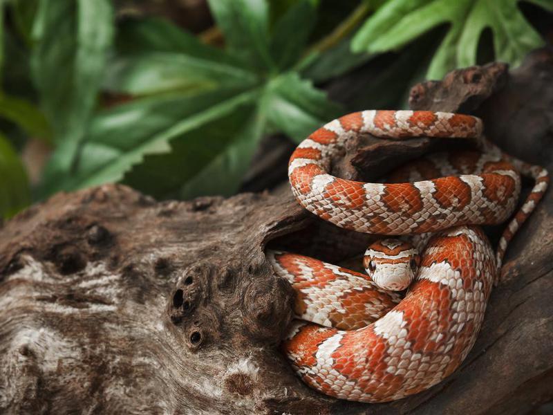 Pet Corn Snake
