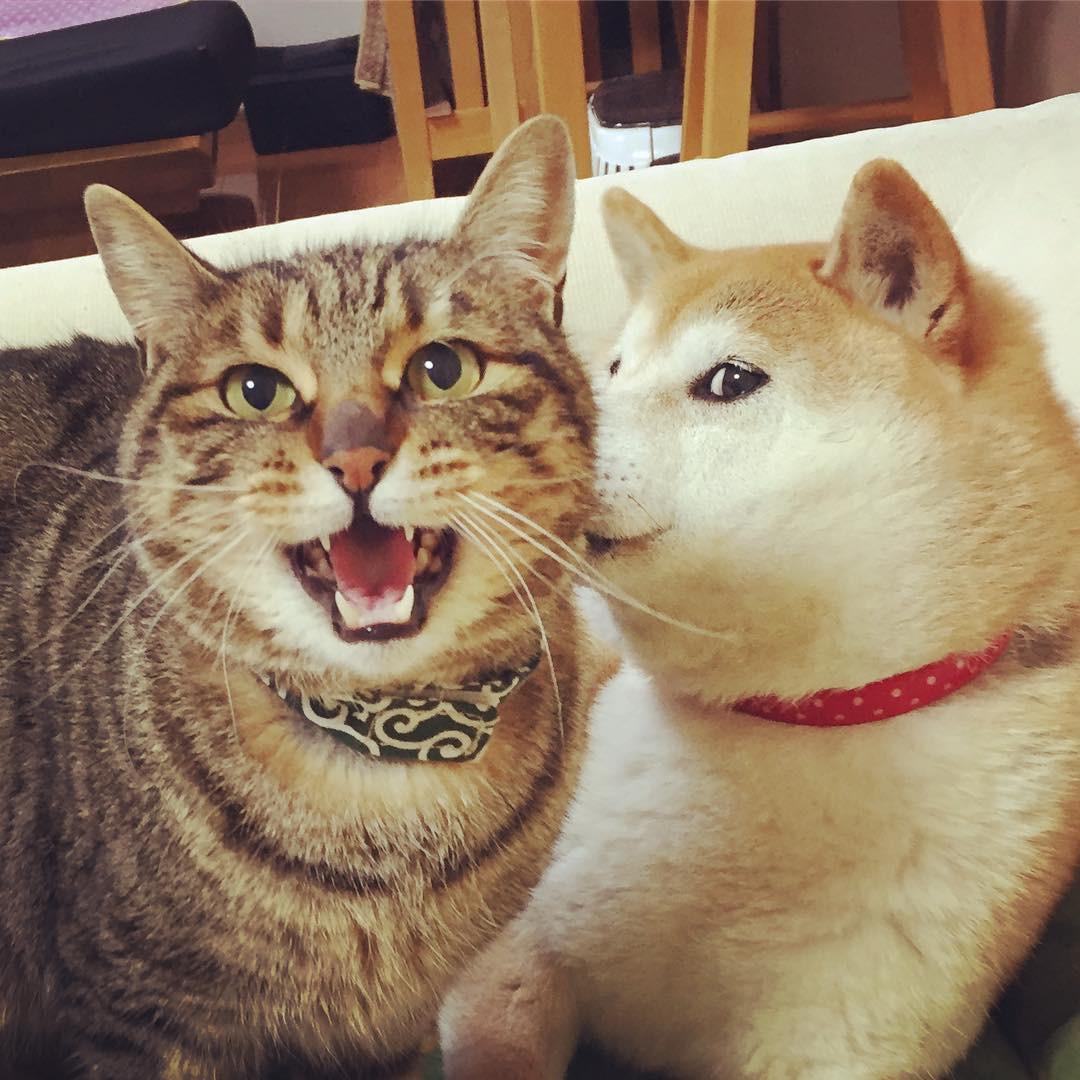 Kabosu with cat