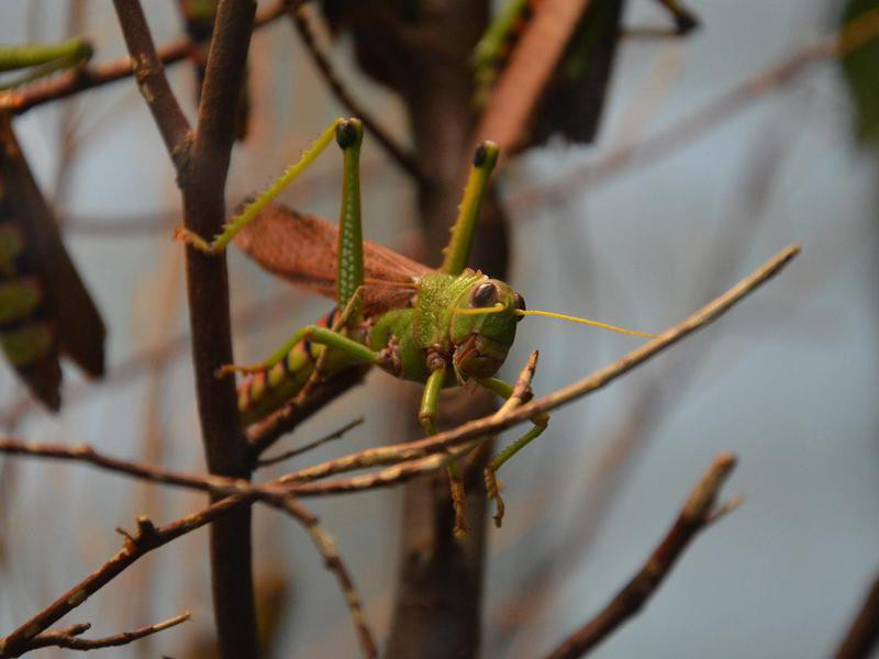 Tropidacris Grasshopper