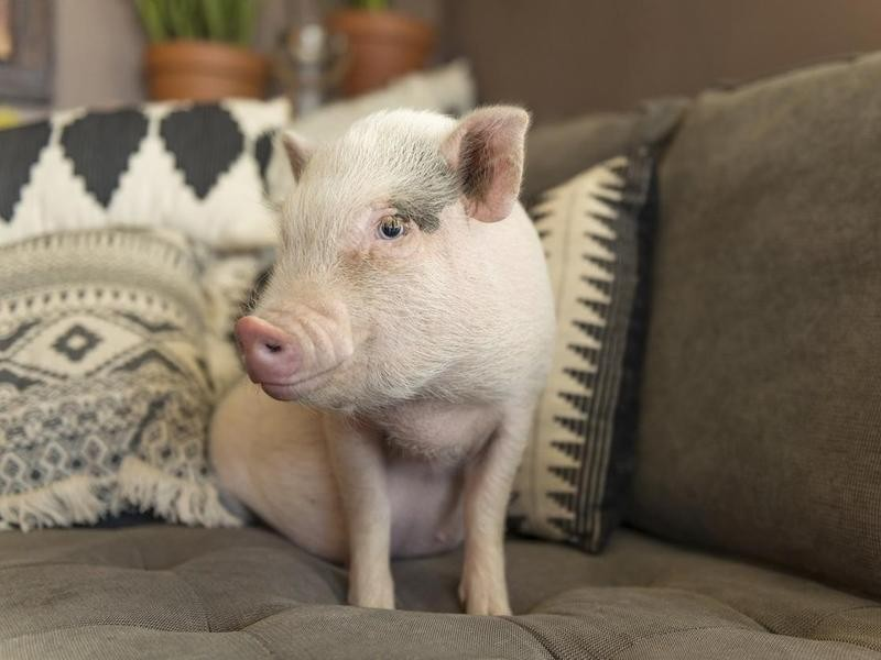 Pig sitting on couch