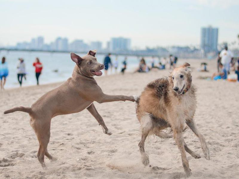 Dogs chasing each other at the beach
