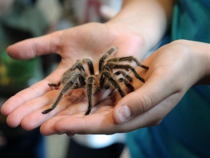 Tarantula in Pinnacles National Park