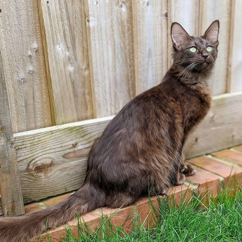 Brown Javanese Cat