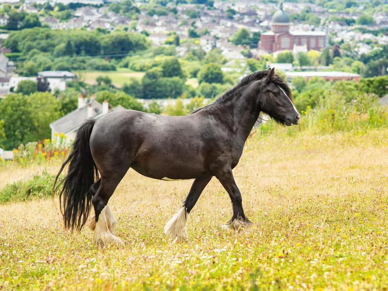 Dales pony on the hill in summer