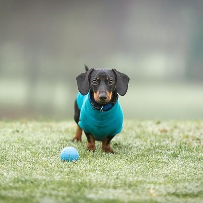 Daschshund