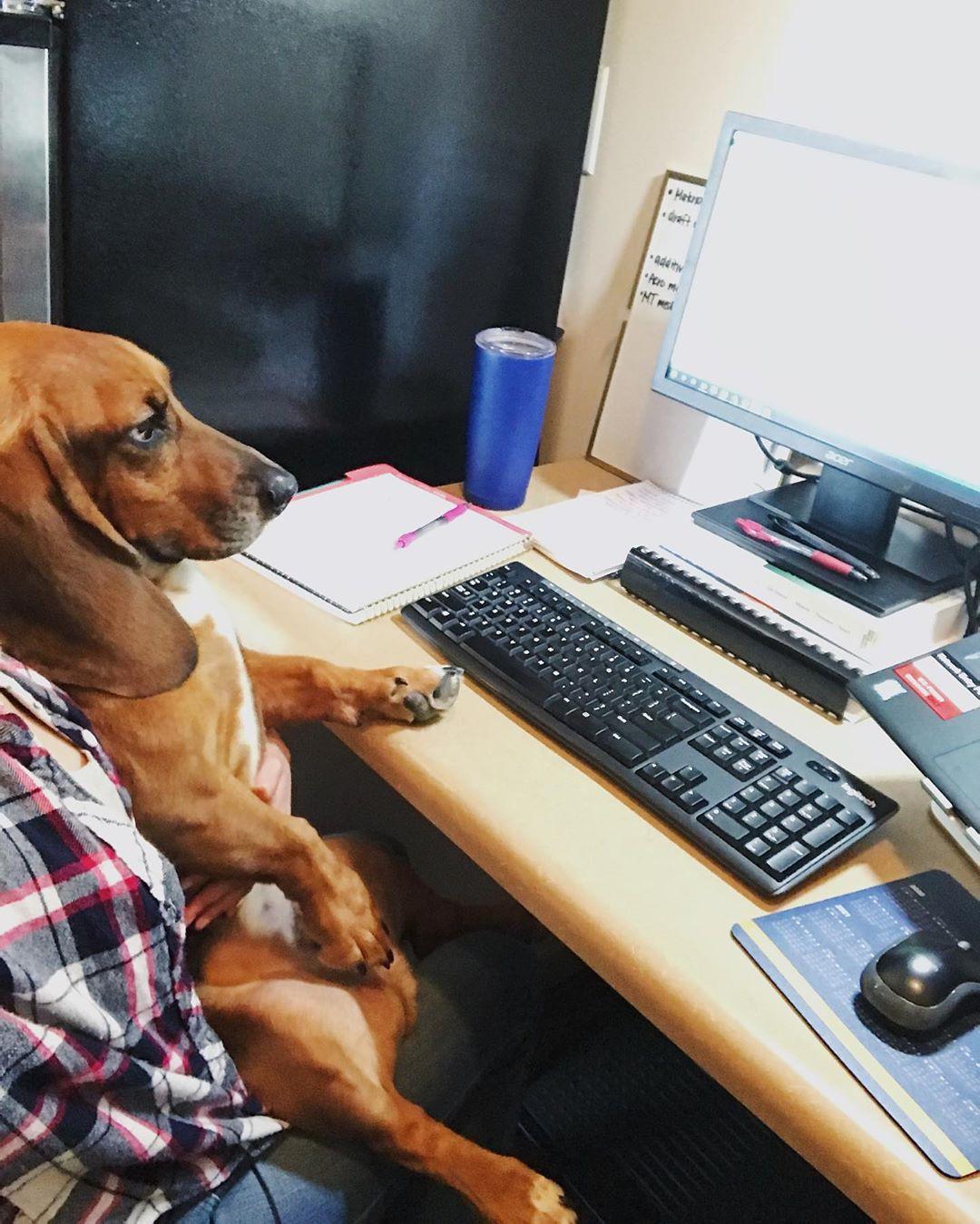 Basset hound at work