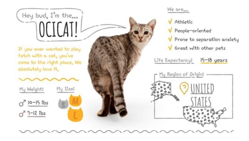 Ocicat summary