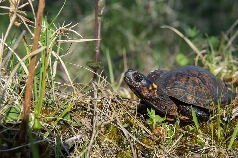North American Bog Turtle