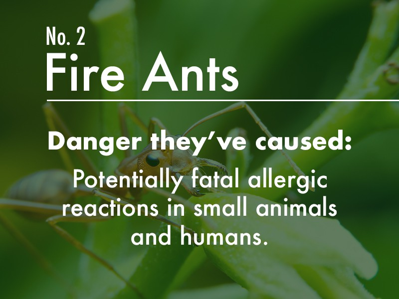 Fire ant dangers