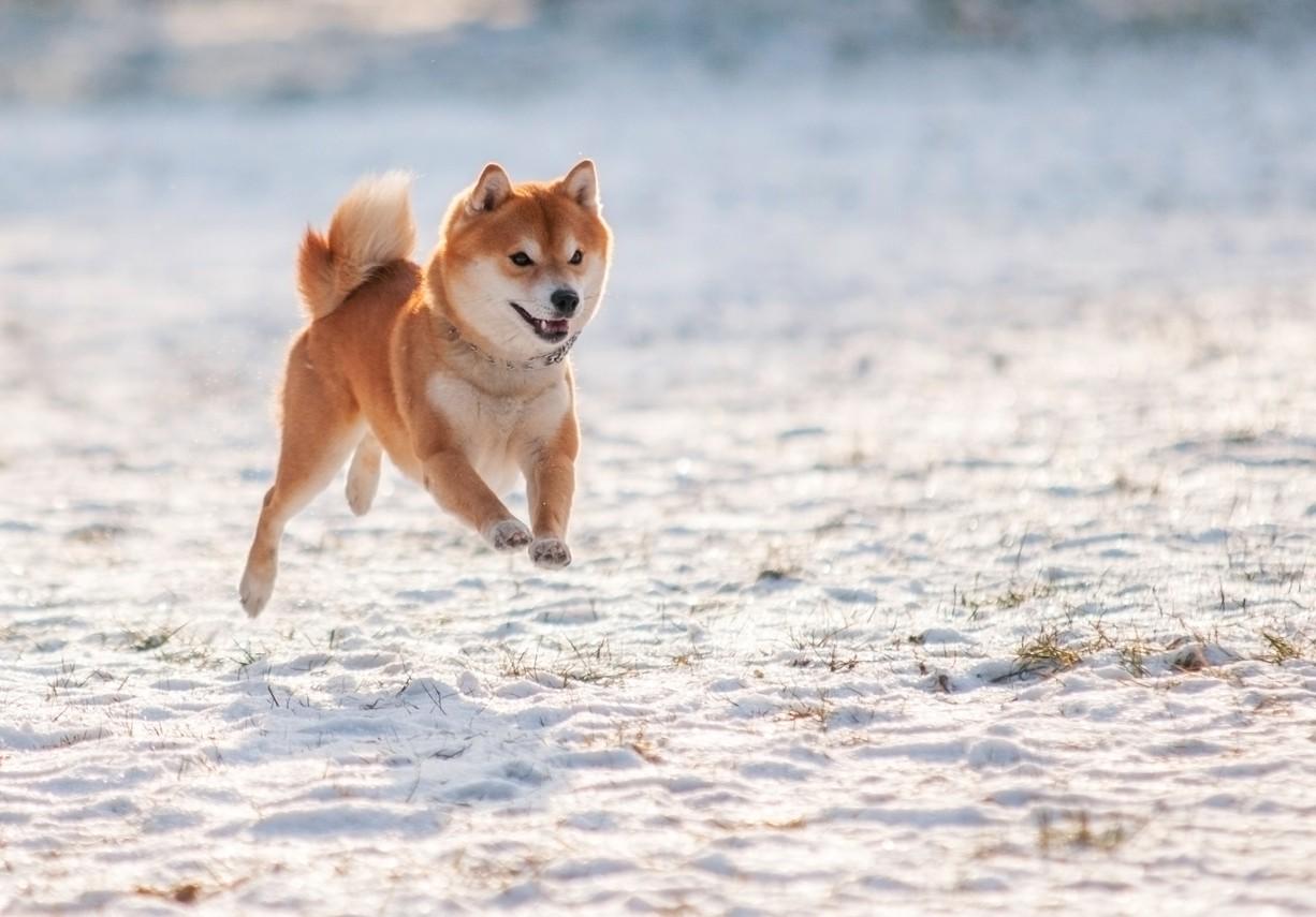 Jumping Shiba Inu