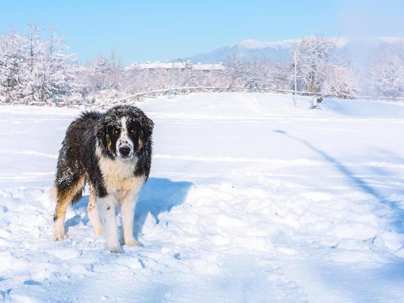 Bulgarian Shepherd Dog Overview