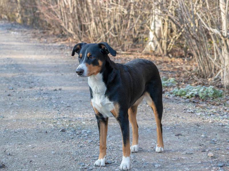 Appenzeller Sennenhund Overview