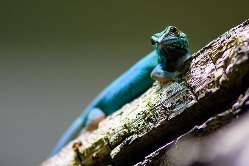 Williams' Dwarf Gecko